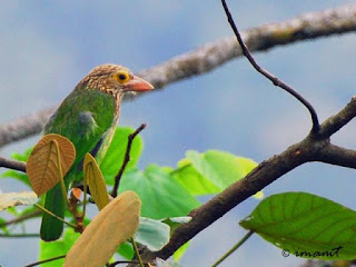 Burung Takur Bultok : Keunggulan Dan Kelemahan Burung Takur Bultok