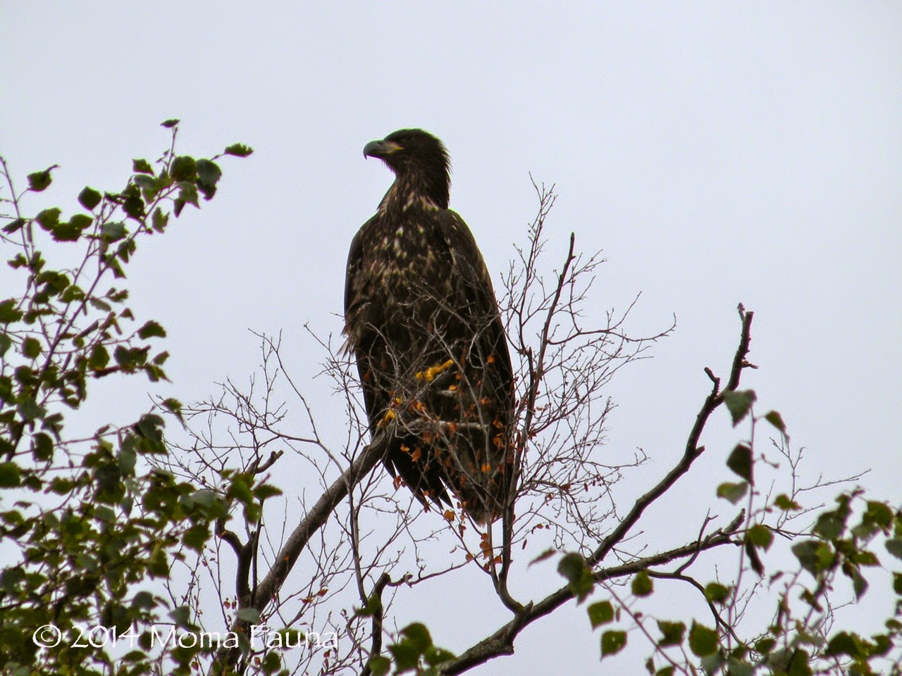 Bald Eagle (Haliaeetus leucocephalus), immature.  Also brown. Also not a fungi.