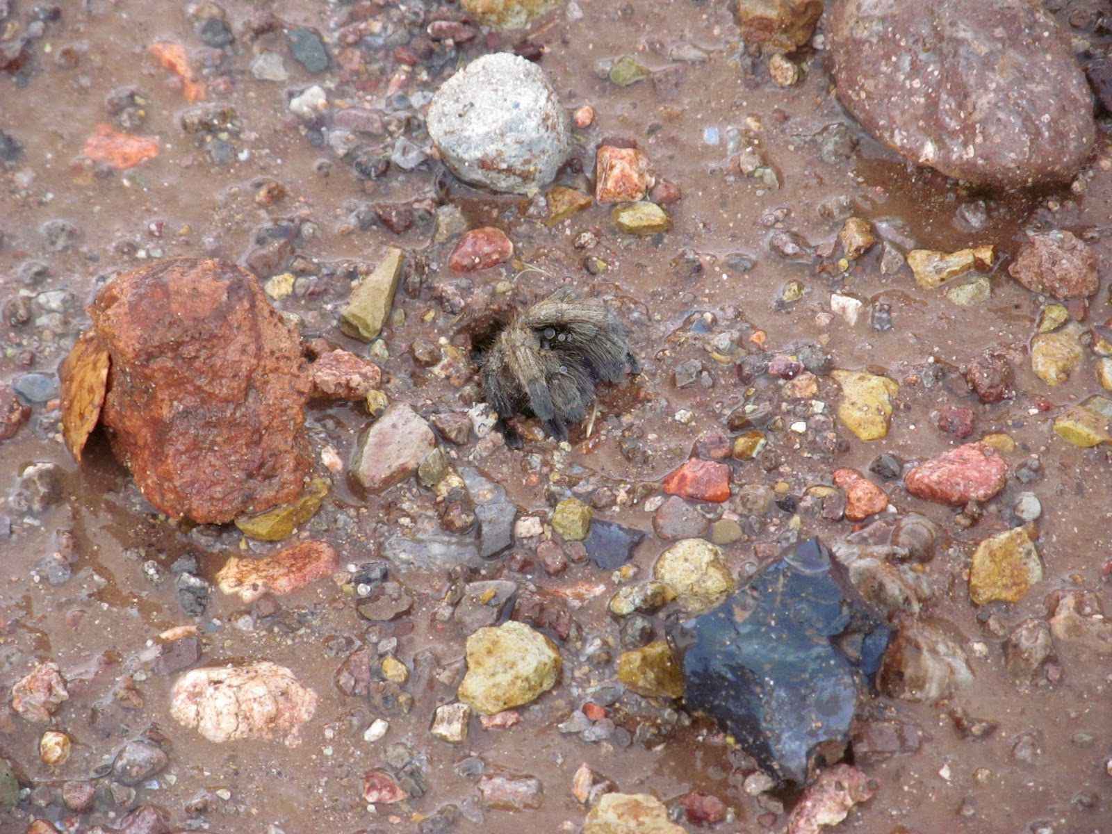 female tarantula sitting in the entrance during a rain