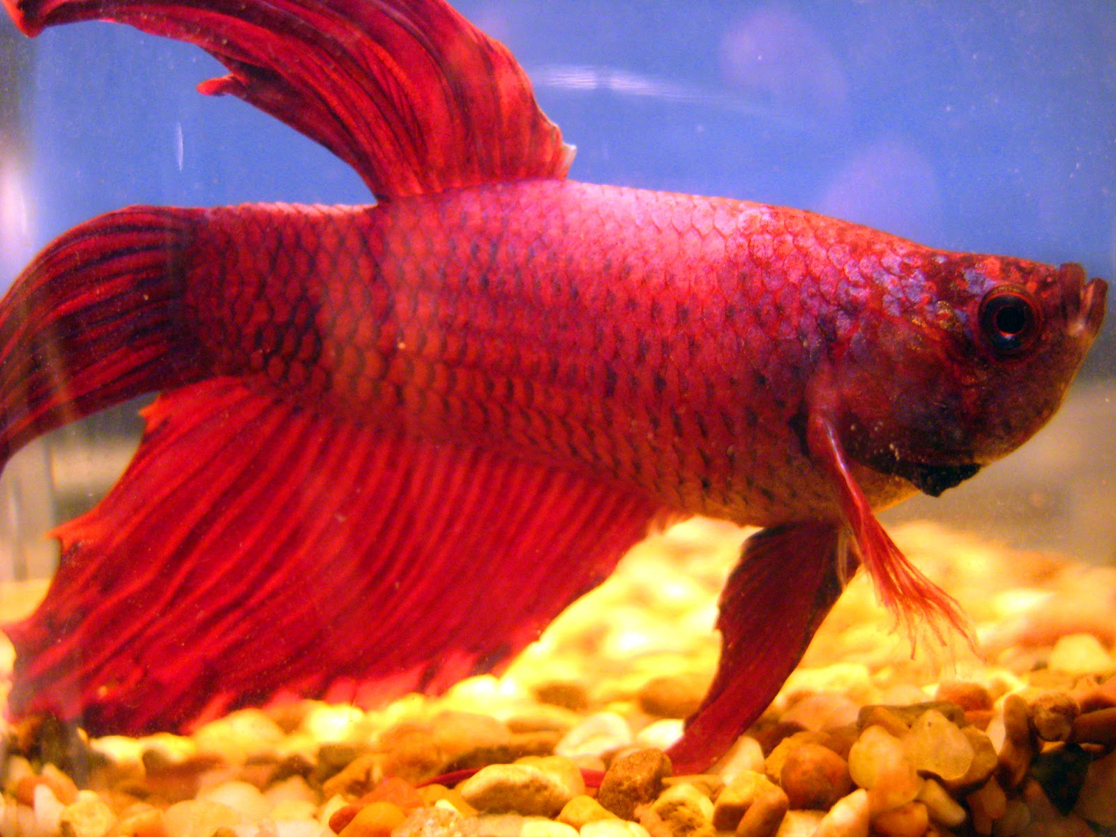 Neko random fact of the day terrible tank buddies for Can betta fish live with other fish
