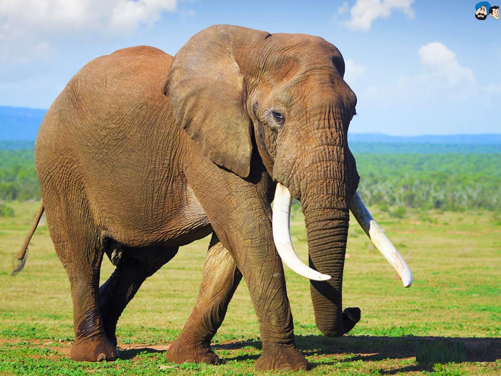 elephant thesis