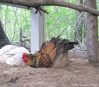 Golden Laced Wyandotte hen dust bathing