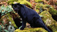 Black Panther Picture and Photo 19