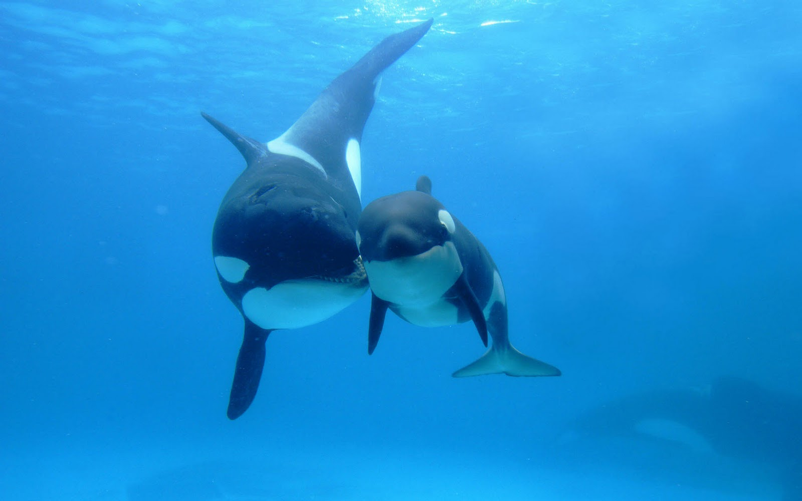 Killer whales wallpapers pets cute and docile killer whales wallpapers altavistaventures Image collections