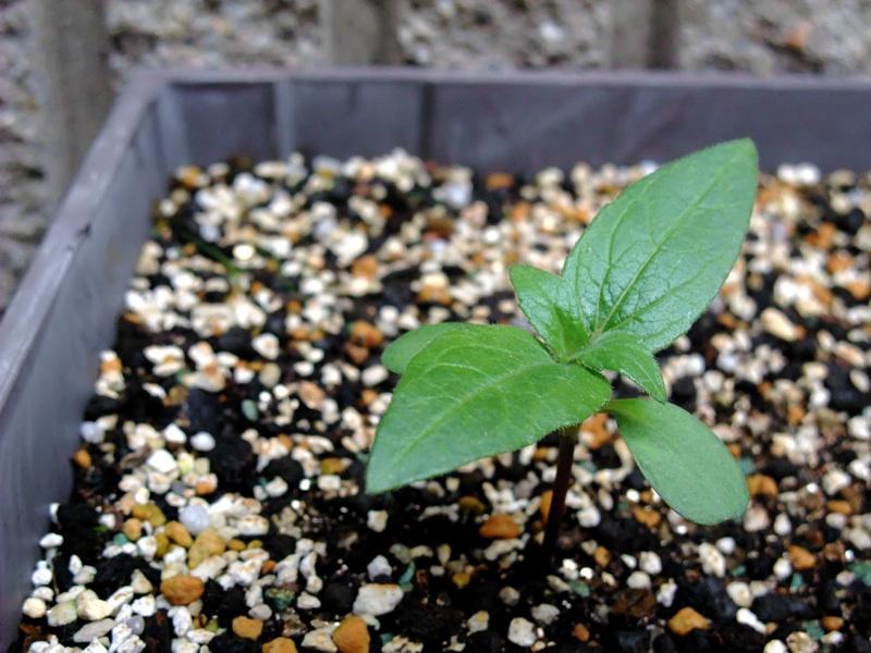 ミニひまわりの芽1