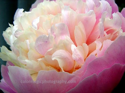 Double pink peony flower-macro photo