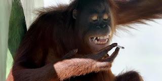 orang hutan, orangutan