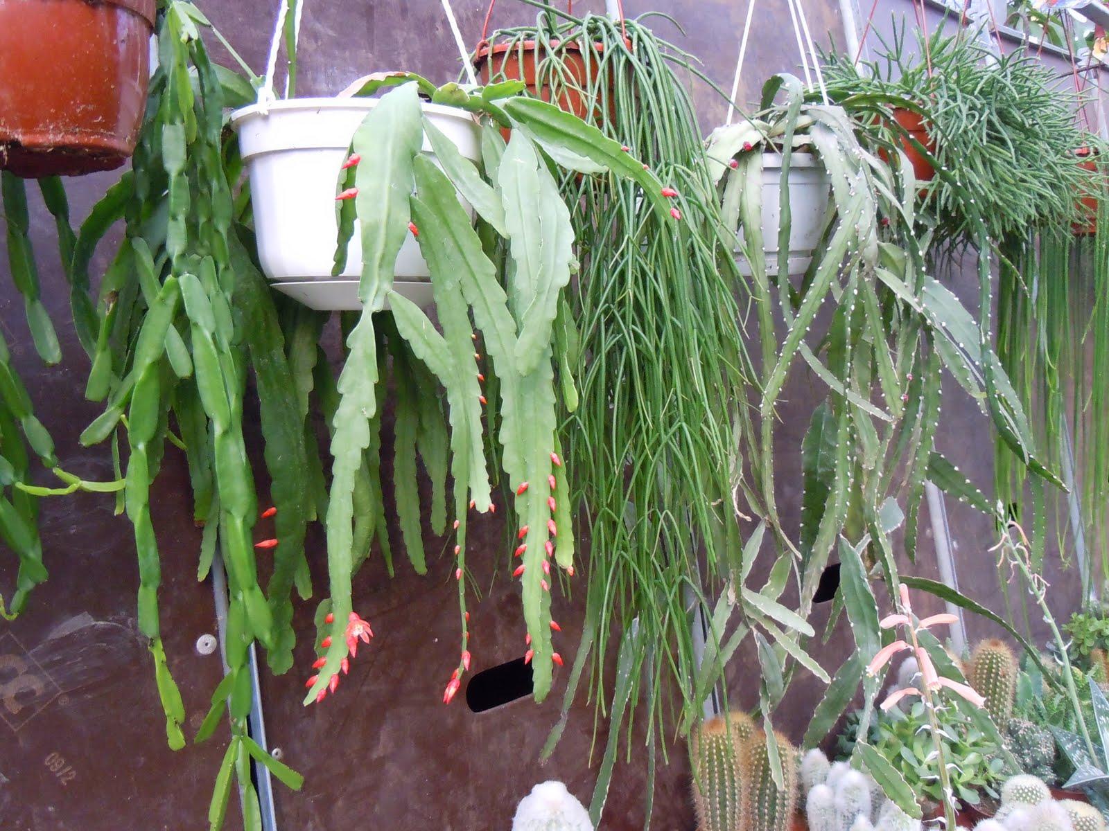 parte de las plantas colgantes, la mayoría llenas de capullos