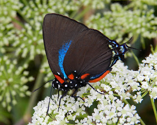 Great Purple Hairstreak