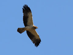 Booted Eagle in Madrid