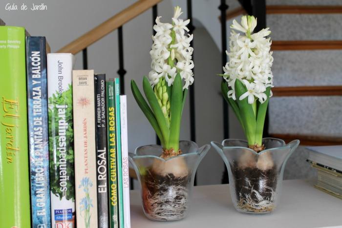 forzar bulbos para que florezcan en cualquier momento del año
