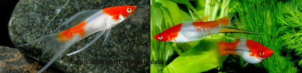 Koi Swordtail fish