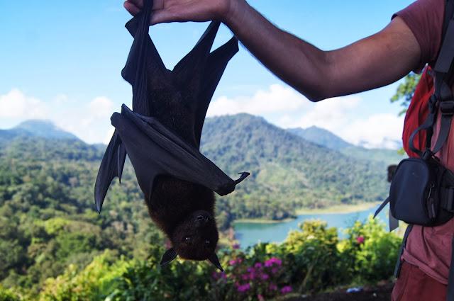 zorro volador de Bali