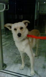 Βρέθηκε  σκυλακος στην Αγ.Παρασκευή Αττικής. Φοράει αλυσίδα και scalibor, είναι περίπου 2 ετών και πολύ φοβισμένος.