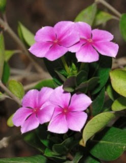 Catharanthus Roseus Pictures
