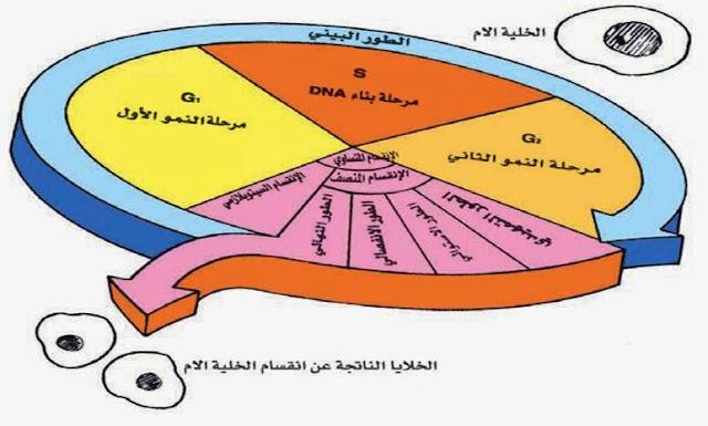مراحل دورة الخلية Cell Cycle Stages