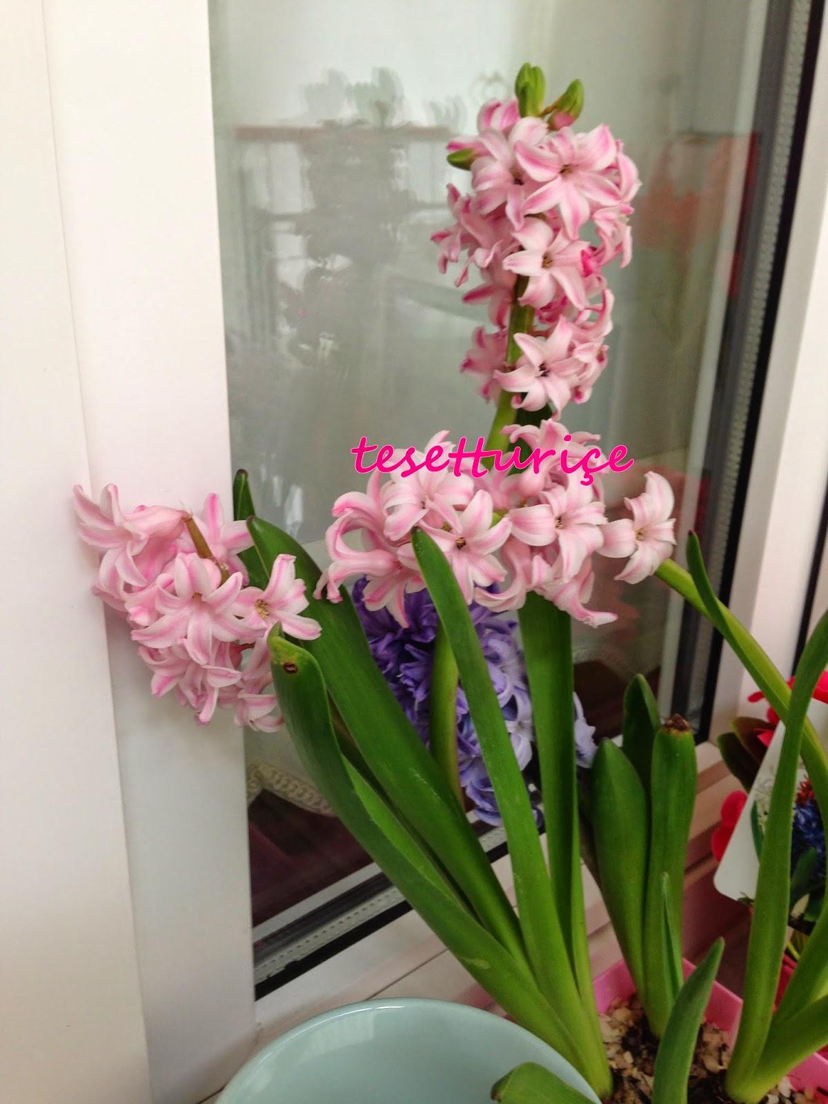 pencere önü pembe sümbüllerim