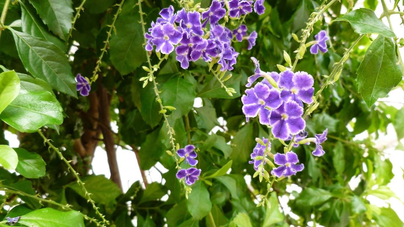 цветы Аргентины