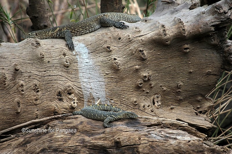 Nile monitor in the Awash National Park