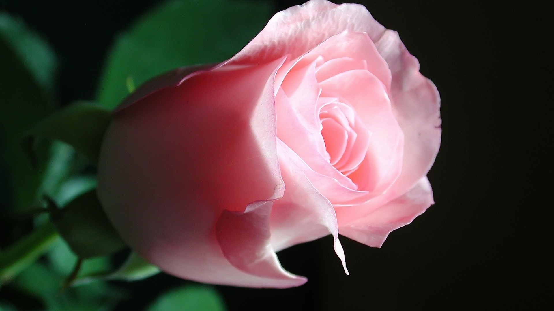 Beautiful Pink Rose HD Wallpaper