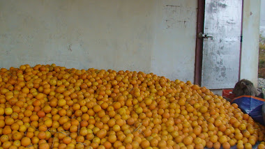 FAMOUS fruits in SINDHULI
