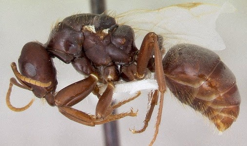 Manfaat dan Cara Budidaya Semut Jepang