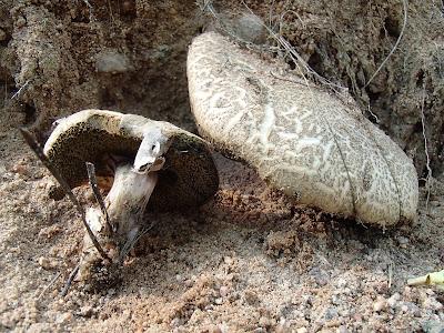 podgrzybek złotawy, Xerocomellus chrysenteron