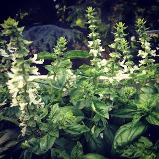 olio extravergine di oliva aromatizzato al basilico... e le sere d'estate!
