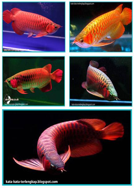 Gambar Ikan Hias Cantik Lucu Dan Unik Ikan Termahal - Kata Kata ...