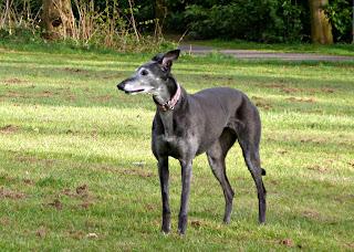 Tessie the greyhound