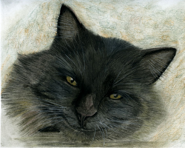 Sarahs Pet Portraits And Art Work Long Haired Black Cat - Tinted Charcoal Drawing