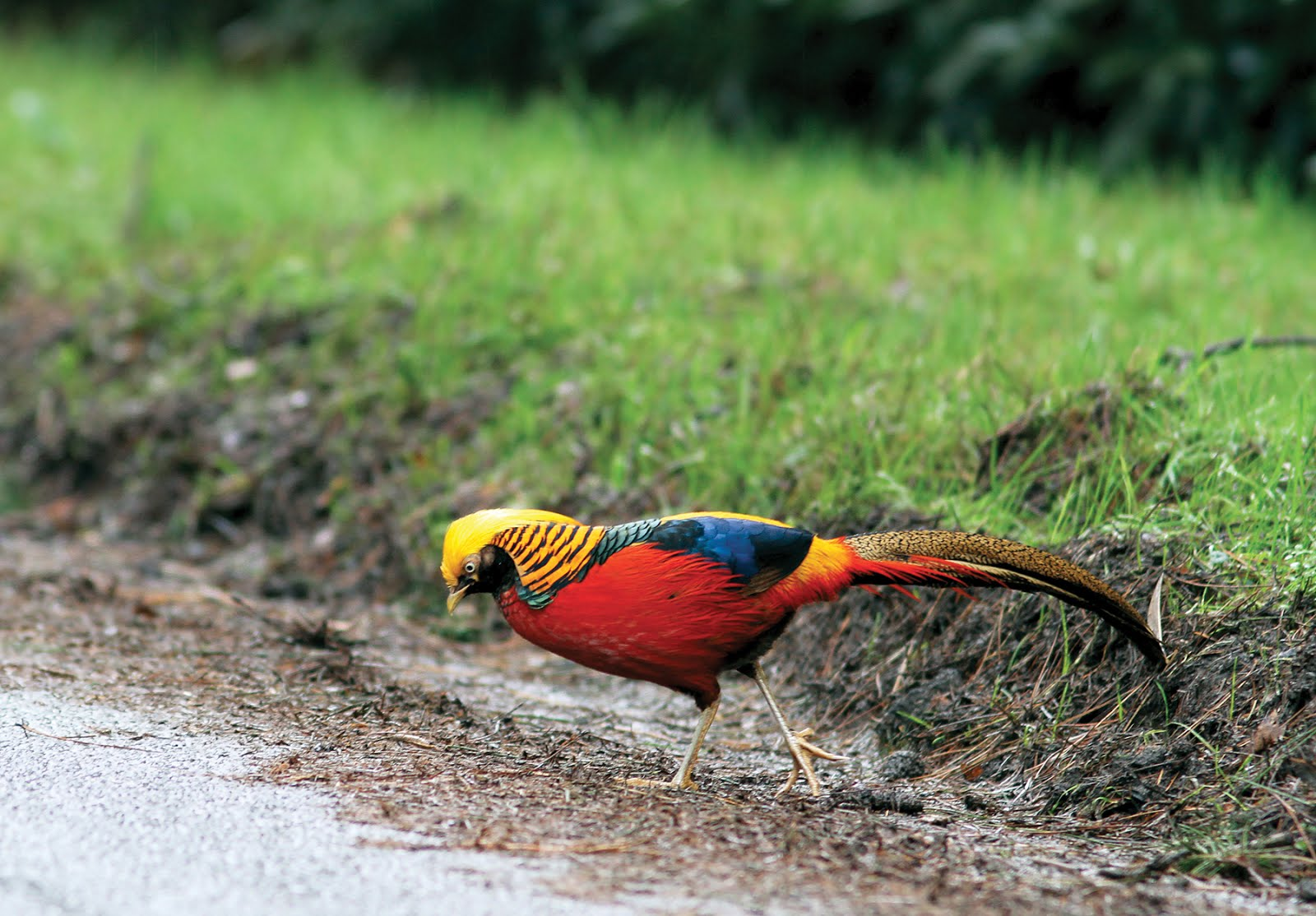 GOLDEN PHEASANT