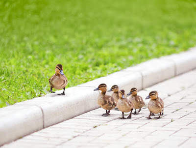 one duck walks on the curb while 5 other ducklings on the street below