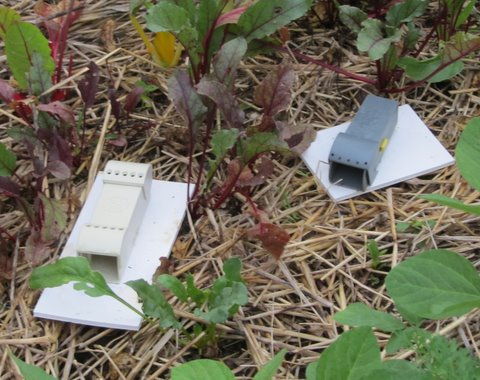 Grow it eat it who dun it case of the toppling potato plant - Volle trap ...