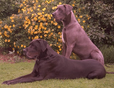 fotos de perro gran danes