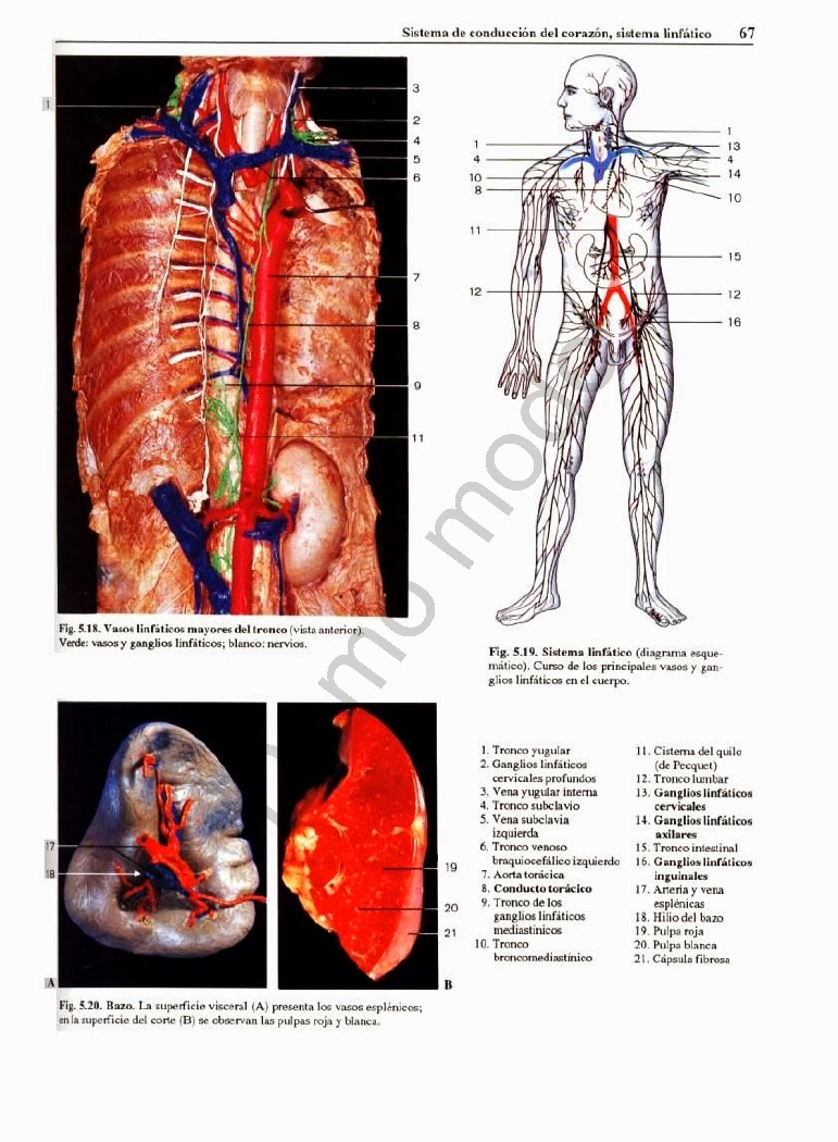 Dorable Diagramas De Anatomía En Blanco Patrón - Anatomía de Las ...
