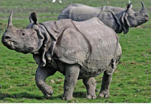 Rhinoceros in india