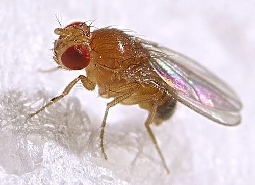 fruit fly introduction Common name: oriental fruit fly scientific name: bactrocera dorsalis (hendel) (insecta: diptera: tephritidae) introduction - synonymy - distribution - description - life history - hosts and damage - quarantine and management - selected references.