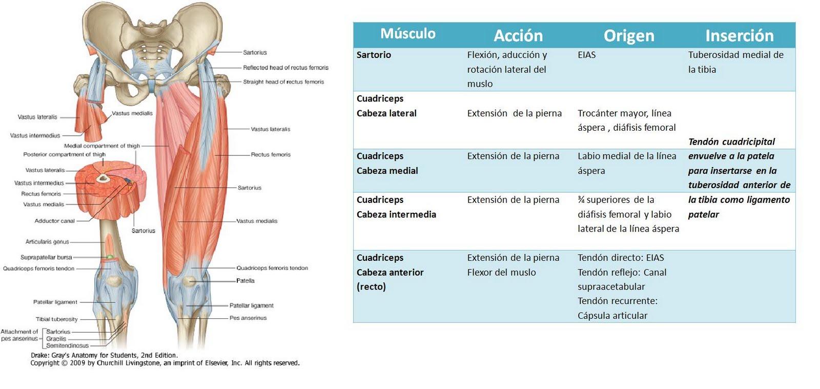 Anatomía UNAM: MUSLO ANTERIOR