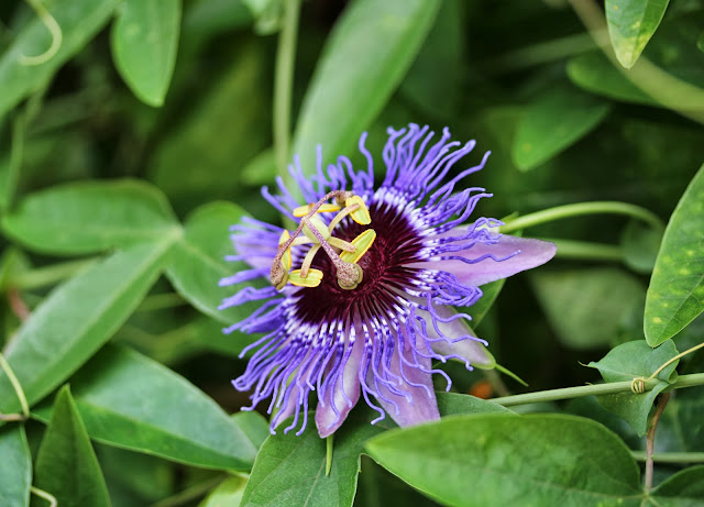 Passion Fruit Flower ~ Photo by ChatterBlossom #passion #flower #nature