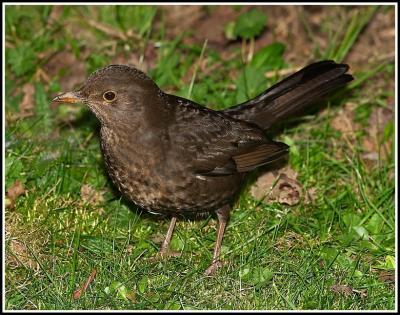 Blackbird With Grey Ring Around Neck