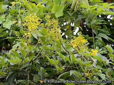 Caesalpinia crista