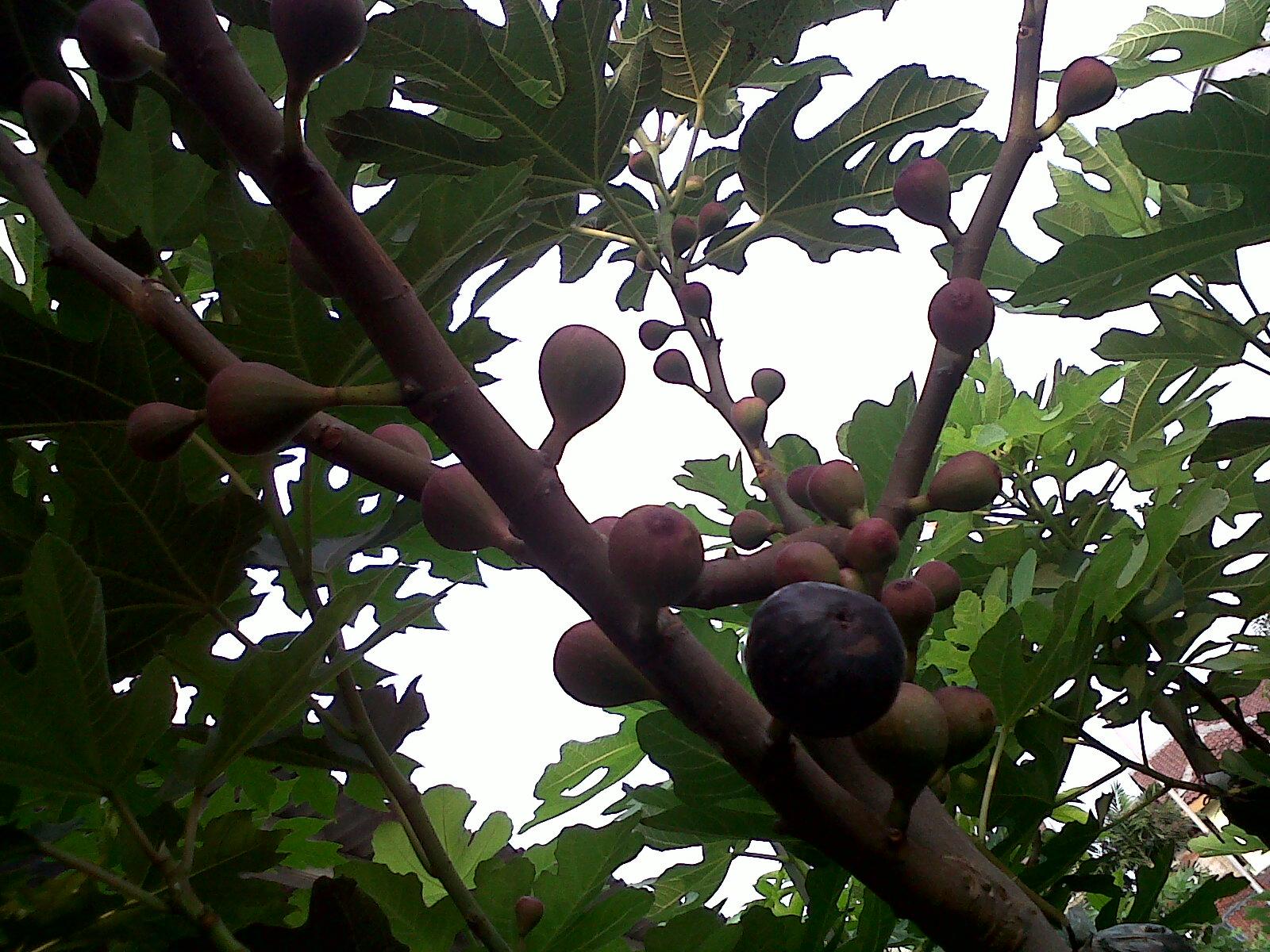 Koleksi pohon ara pohon tin yang penulis miliki saat ini