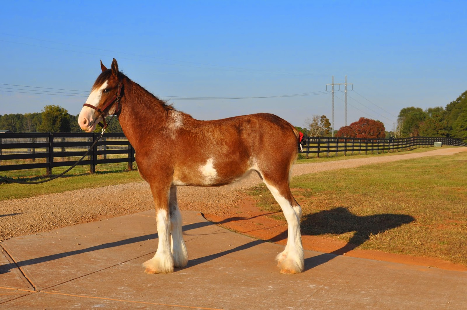Classic City Clydesdales Clydesdales For Sale