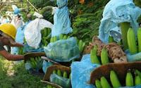 Cultivo de platano en Olanchito