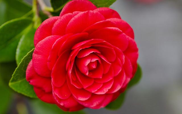 Camelias Rojas Imágenes de Flores Rojas