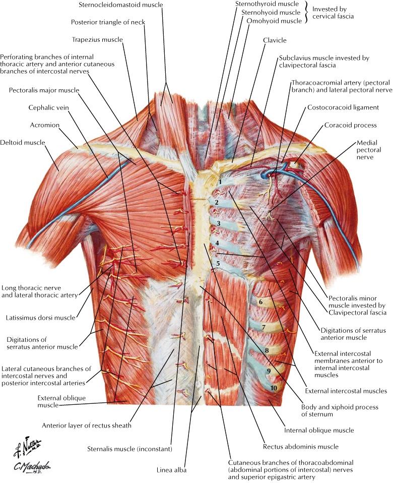 Excelente Pectoralis Anatomía Muscular Elaboración - Anatomía de Las ...