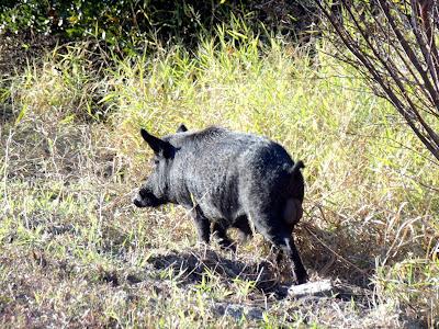 Wild Boar o Jabalí