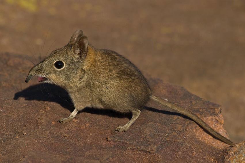 hewan terkecil di dunia, tikus etruscan shrew