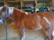 Flashy Haflinger